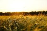 barley-1117282_640